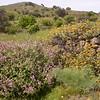Kr 0012 Salvia fruticosa