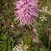 Kr 0019 Orchis italica