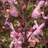 Kr 0016 Salvia fruticosa