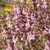 Kr 0015 Salvia fruticosa