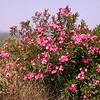 Kr 3662 Nerium oleander