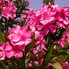 Kr 3663 Nerium oleander