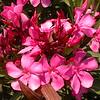 Kr 3664 Nerium oleander