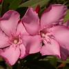 Kr 1850 Nerium oleander