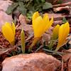 Kr 3726 Sternbergia greuteriana