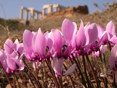 Greece: mainland, autumn bulbs