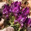 Pe 0008 Iris pumila attica