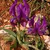 Pe 0019 Iris pumila attica