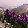 Pe 0004 Iris pumila attica