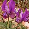 Pe 0020 Iris pumila attica