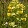 Gr 1846 Rhinanthus pindicus
