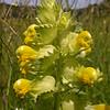 Gr 1847 Rhinanthus pindicus