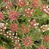 Sa 0018 Trifolium stellatum