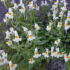 Si 0276 Linaria reflexa