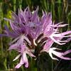 Si 2973 Orchis italica