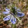 Si 2979 Nigella damascena