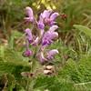 Sp 1205 Salvia verbenaca