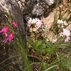Sp 1192 Gladiolus illyricus + Allium roseum