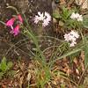Sp 1191 Gladiolus illyricus + Allium roseum