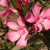 Sp 4583 Nerium oleander