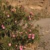 Sp 4578 Nerium oleander