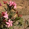 Sp 4579 Nerium oleander