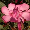 Sp 4584 Nerium oleander