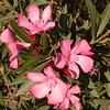 Sp 4581 Nerium oleander