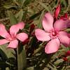 Sp 4582 Nerium oleander
