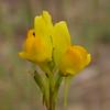 Sp 2486 Linaria viscosa