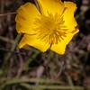 An 0025 Ranunculus gramineus