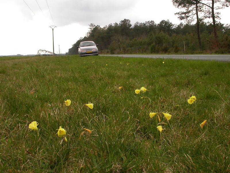 Sp 0008 Narcissus bulbocodium citrinus