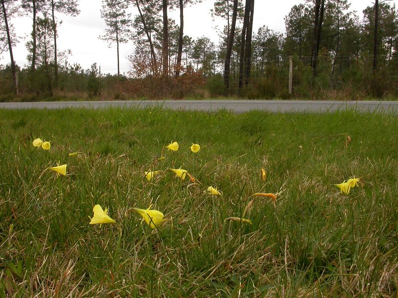 Sp 0009 Narcissus bulbocodium citrinus