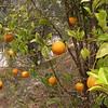 Sn 0011 Citrus x sinensis