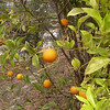 Sn 0012 Citrus x sinensis