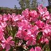 Sn 1012 Nerium oleander