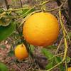 Sn 0013 Citrus x sinensis