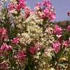 Sn 1015 Nerium oleander + Clematis flammula
