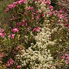 Sn 1014 Nerium oleander + Clematis flammula