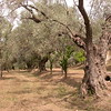 Sn 0006 olijvenboomgaard