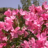 Sn 1011 Nerium oleander
