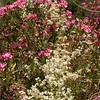 Sn 1013 Nerium oleander + Clematis flammula