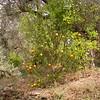 Sn 0010 Citrus x sinensis