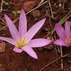 An 1203 Colchicum filifolium (= Merendera filifolia)