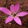 An 1212 Colchicum filifolium (= Merendera filifolia)