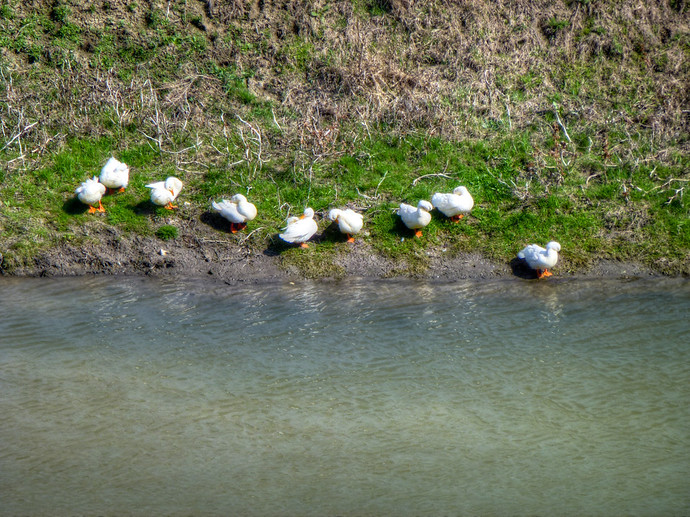 ducks by stream