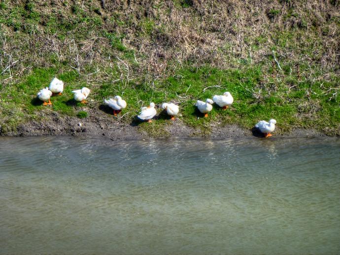 ducks by stream