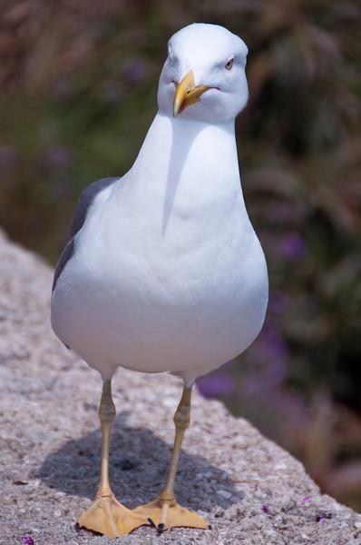 Sea Gull, Monaco