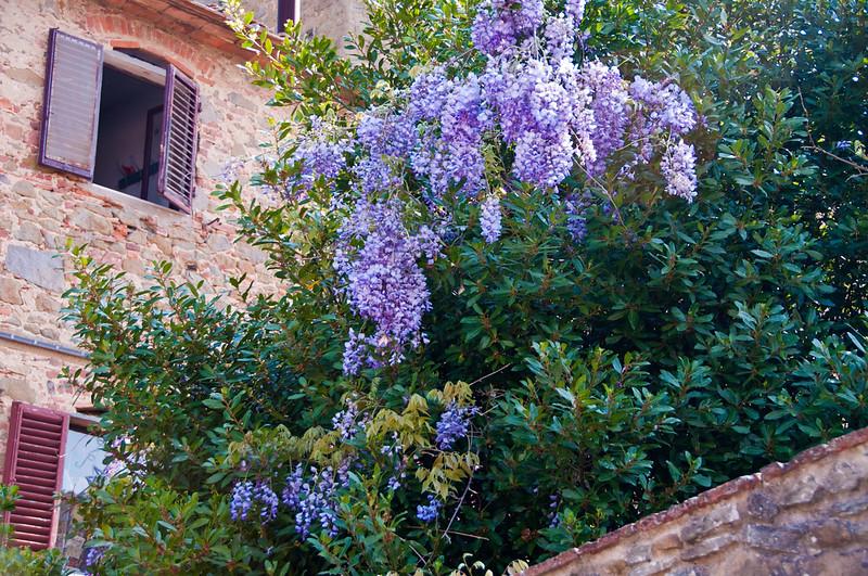Wisterial in Vinci, Italy. Birthplace of Da Vinci.