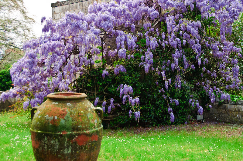 Wisteria and stone urn on grounds of Castello Il Palagio, Tuscany, Italy